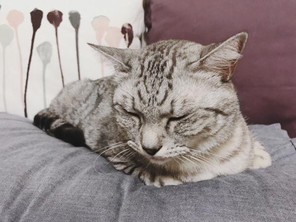 渋い顔のテト(サバトラ猫)。