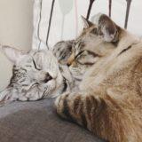 仲良くくっついて眠る2匹の猫。