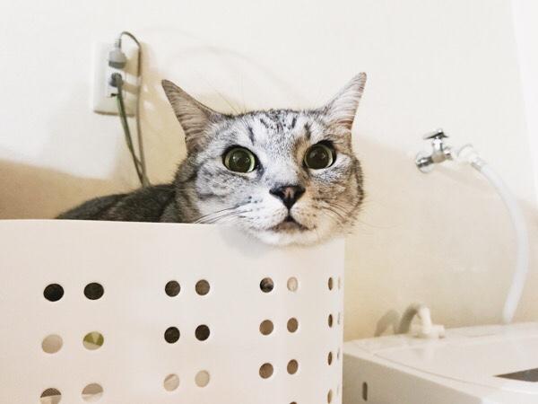 大きな目がチャームポイントのテト(サバトラ猫)。