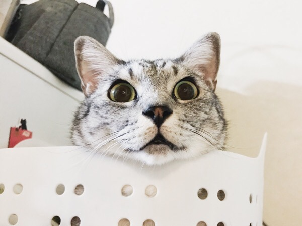 洗濯カゴから顔だけ出している猫。