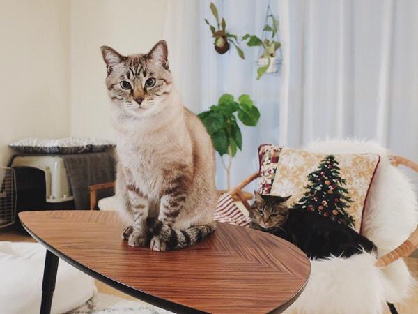 テーブルの上に座っているムク(シャムトラ猫)。