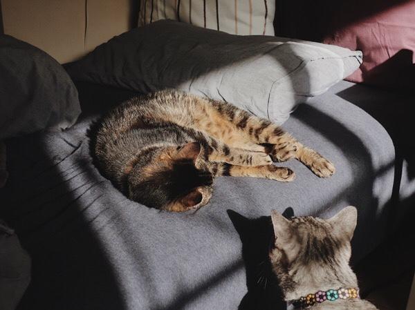 寝ているジーナ(キジトラ猫)にそーっと近付くテト(サバトラ猫)。