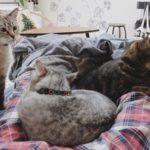 ニンゲンが横になるとすぐに猫の溜まり場と化す