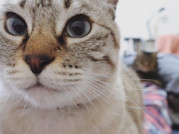 ムク(シャムトラ猫)のドヤ顔アップ。