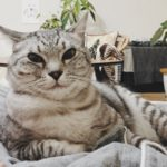 ドヤ顔で人の腹の上に居座る猫