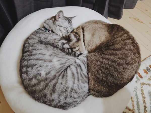 テト(サバトラ猫)とムク(シャムトラ猫)の猫だんご。