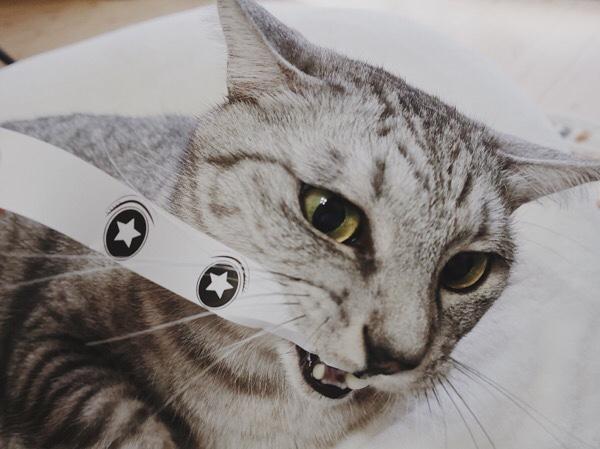 猫モンタージュに噛み付くテト(サバトラ猫)。
