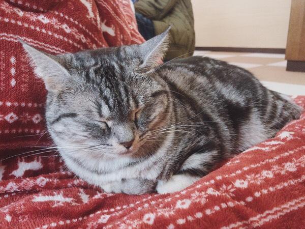 猫カフェ「ねこ茶」レオンちゃん。