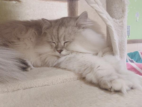 猫カフェ「ねこ茶」シルバちゃん。