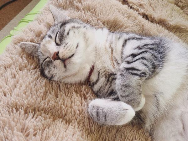 うらめしにゃーのポーズで寝ている猫。
