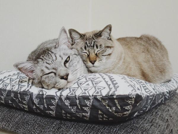 寄り添って寝ている兄弟猫。