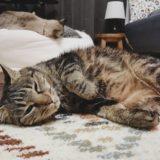 寝転がってるジーナ(キジトラ猫)。