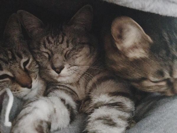 ジーナ(キジトラ猫)に押されるテト(サバトラ猫)とムク(シャムトラ猫)。