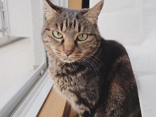網戸の前に座っているジーナ(キジトラ猫)。