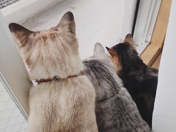 網戸越しにベランダの外を見ている猫たち。