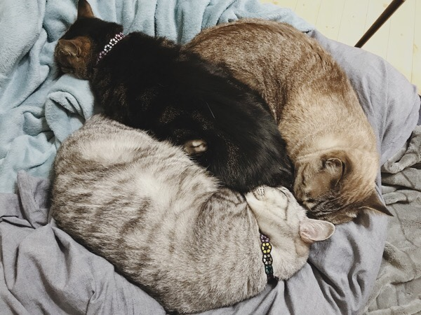 ぴったりくっついて寝ている猫3匹。