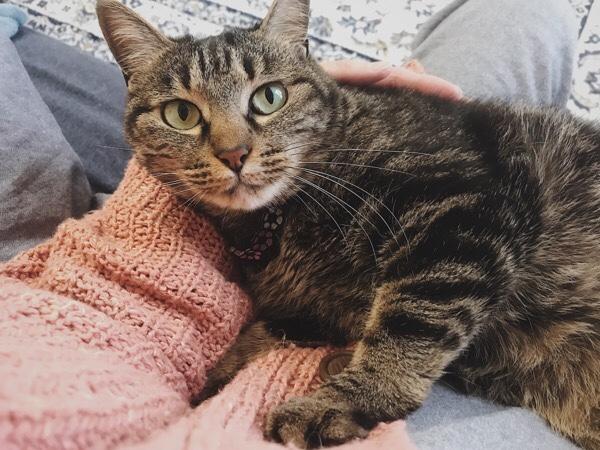 膝の上で甘えているジーナ(キジトラ猫)。
