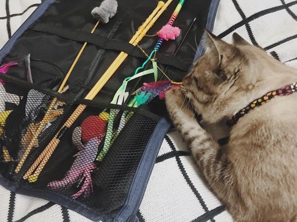横からおもちゃにかぶりつくムク(シャムトラ猫)。