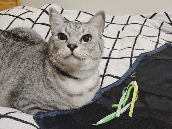 早く遊びたいテト(サバトラ猫)。