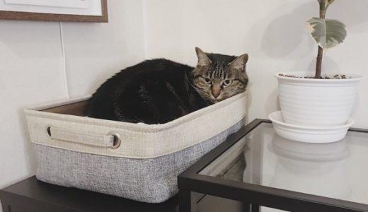 ニトリのバスケットに収まっている猫。