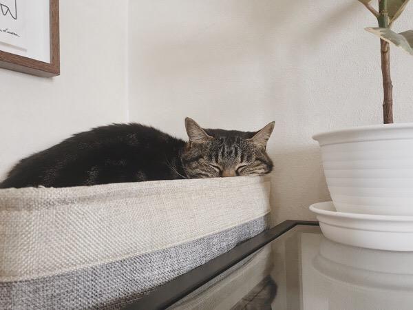 バスケットのふちにほっぺたを乗せて寝ているジーナ(キジトラ猫)。