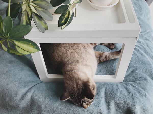 ベッドトレイの下から頭だけ出しているムク(シャムトラ猫)。