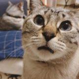 口が半開きになってるムク(シャムトラ猫)。