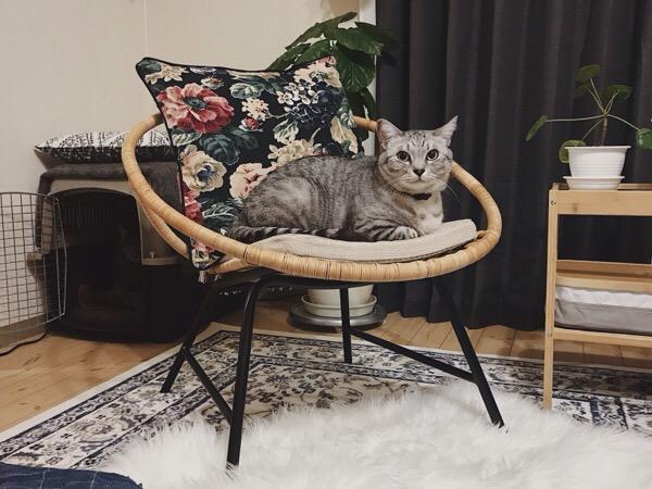 ラタンチェアの上でくつろいでるテト(サバトラ猫)。