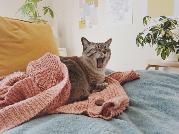 カーディガンに包まってあくびしているムク(シャムトラ猫)。