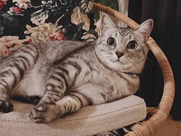 目を丸くしてキョトンとしているテト(サバトラ猫)。
