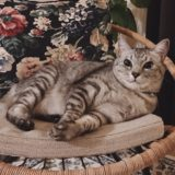 お気に入りのラタンチェアの上で横たわっている猫。