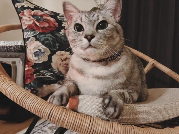 チェアの上にいるテト(サバトラ猫)。