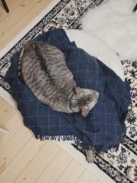 マシュマロクッションの上で寝ているテト(サバトラ猫)。