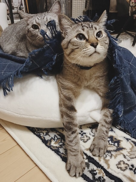 ブランケットの下から顔を出したムク(シャムトラ猫)。