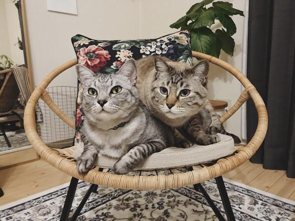 ラタンチェアの上に乗っている猫2匹。