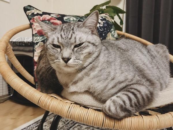 あからさまに不機嫌な顔のテト(サバトラ猫)。