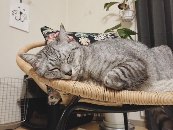 諦めて寝るテト(サバトラ猫)。