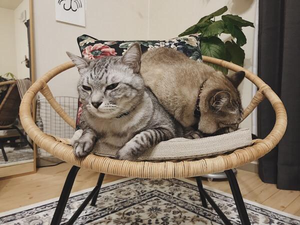 ムク(シャムトラ猫)に背中に乗られて不満そうなテト(サバトラ猫)。