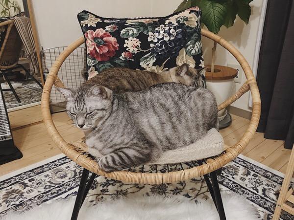 狭い椅子の上で無理やり寝る猫たち。