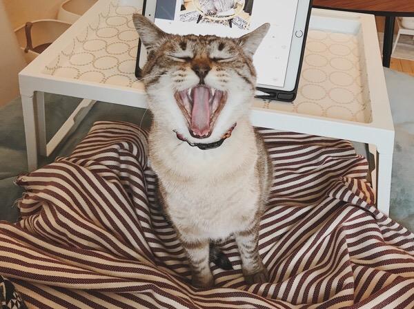 大きく口を開けている猫。