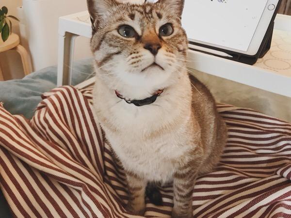 お座りしてるムク(シャムトラ猫)。
