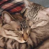 仲良く眠る兄弟猫。