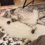 ヘソ天で寝っ転がってるテト(サバトラ猫)。