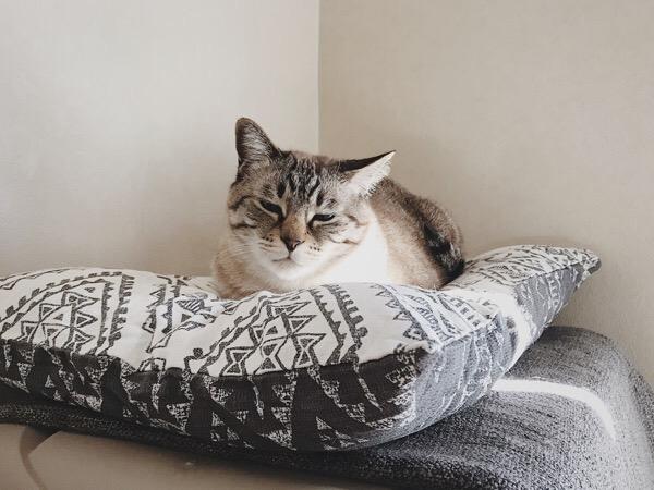 寝ぼけ顔のムク(シャムトラ猫)。