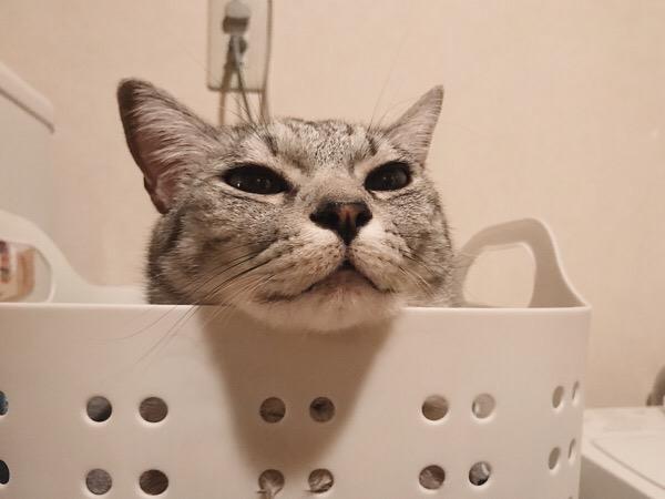洗濯カゴの中から顔だけ出しているテト(サバトラ猫)。