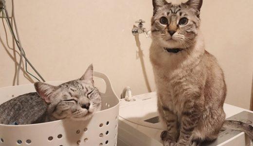 洗濯カゴの中にいるテト(サバトラ猫)と、洗濯機の上にいるムク(シャムトラ猫)。