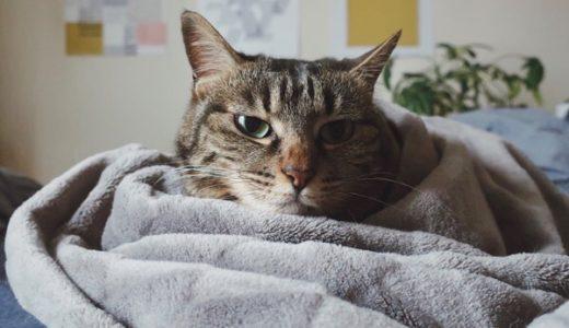 ジーナ(キジトラ猫)。