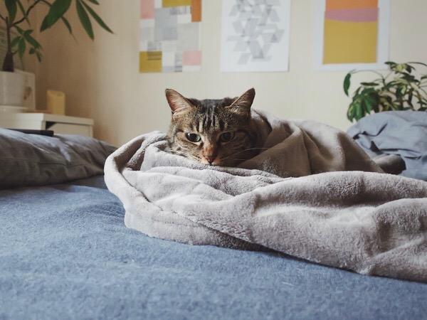 毛布に包まれた猫。