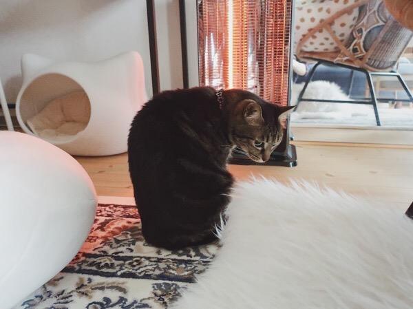 ヒーターの前に移動してきたジーナ(キジトラ猫)。