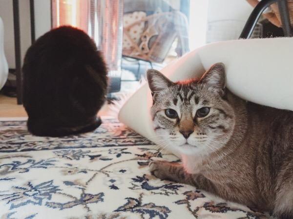 ラグの下に隠れてたムク(シャムトラ猫)。